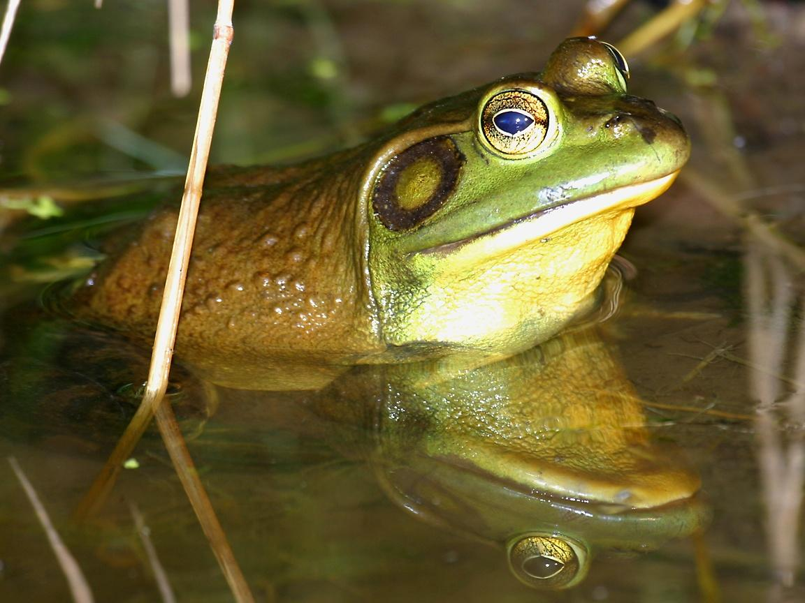 Frogs_wallpapers_203
